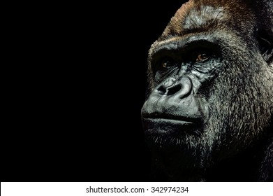 Portrait of a Gorilla isolated on black background