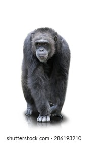 A portrait of a gorilla which walks on both of his hand and feets, isolated
