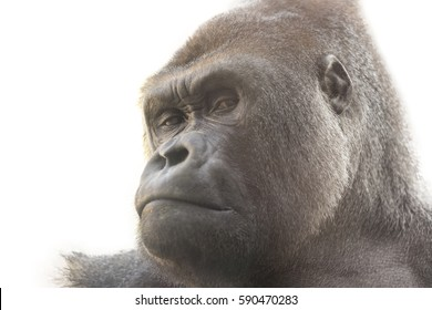 Portrait of a gorilla with white background. Isolated for use in editing.