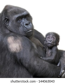 Portrait of gorilla-mother with her baby, isolated on white background