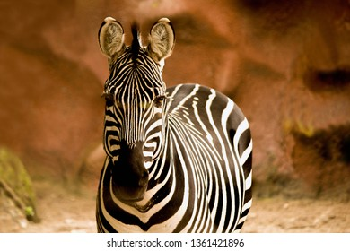 Portrait of a Grant's Zebra at the zoo looking directly into the camera