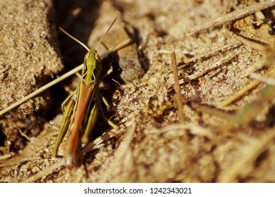 portrait of a grashopper