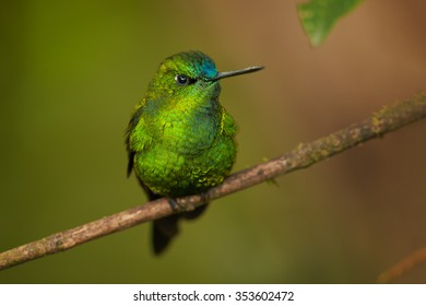 Portrait of grass green glittering hummingbird with blue head and tail  Eriocnemis luciani Sapphire-vented Puffleg perched on mossy twig in cloud forest. Blurred green and brown distant background.