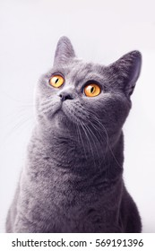Portrait of gray british shorthair cat on white background