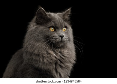 Portrait of Gray Cat with furry breast Gazing on Isolated Black Background