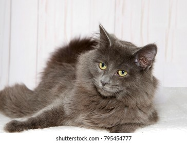 Portrait of a gray cat laying on a soft blanket looking to viewers left. Light wood wall background.