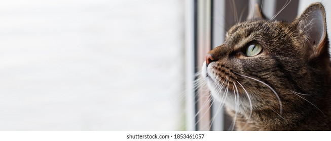 Portrait of a Gray cat looking out window. copy space. banner