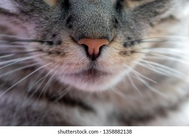 Portrait of a gray cat. Cat whiskers and nose. Cute pet. Cat's face
