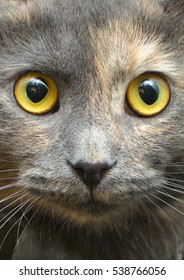 portrait of a gray cat with yellow eyes closeup
