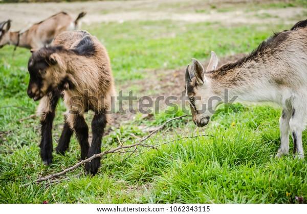 Portrait of gray domestic goat
