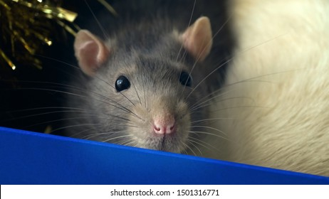 Portrait of gray domestic rat sitting in a box and sniffing. Rat face close-up