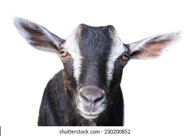 portrait gray goat on a white background
