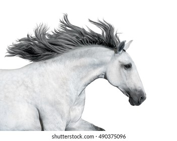 Portrait of the gray horse isolated on white background