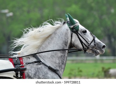Portrait of a gray horse orlov trotter breed in motion on a green background