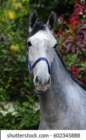 Portrait of the gray horse Orlov trotter breed