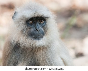 Portrait of a Gray Langur in Ranthambore National Park in Rajasthan, India