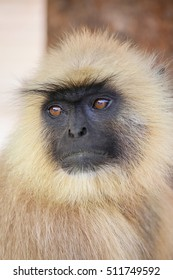 Portrait of gray langur sitting in  Amber Fort near Jaipur, Rajasthan, India. Gray langurs are the most widespread langurs of South Asia.