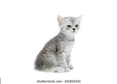 Portrait of gray persian kitten
