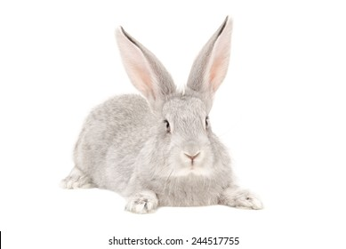Portrait of a gray rabbit isolated on white background
