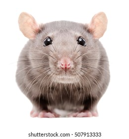 Portrait of a gray rat, closeup, isolated on white background