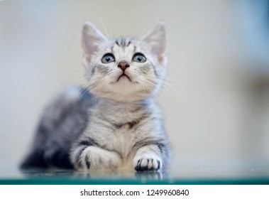 Portrait of a gray striped domestic kitten