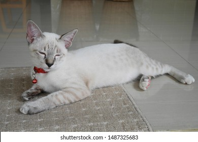 Portrait of a Gray and White Cat Wearing Red Collar with a Red Bell Sleeping on the Floor. Cute Cat, Thai Cat