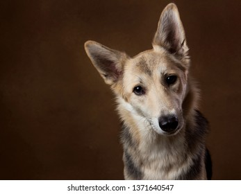 Portrait of gray and white mongrel dog sitting in studio on brown blackground and looking at camera interested