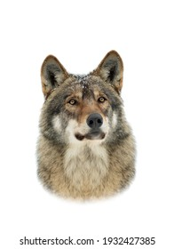 portrait of a gray wolf with snowflakes on the muzzle isolated on white background