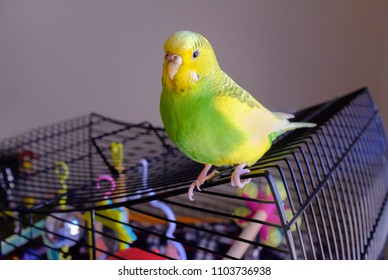portrait of a grean and yellow parakeet budgerigar sitting on her cage