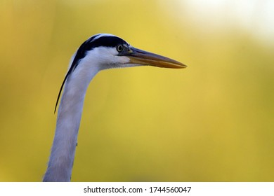 Portrait of a great blue heron, Netherlands