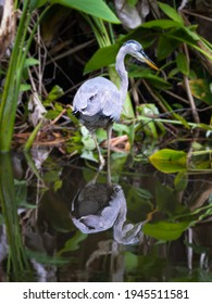 Portrait of a Great Blue Heron and its Reflection in a Mangrove in Everglades National Park in Florida, USA