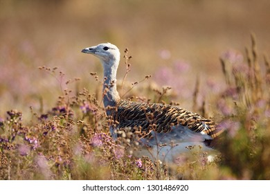 Portrait of a Great Bustard (otis tarda) in the grass. Wildlife scene from Hungary.