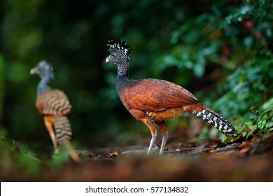 Portrait of Great Curassow, Crax rubra, Costa Rica. Two wild birds in the nature habitat, in the dark forest. Wildlife scene from nature. Birdwatching in South America.