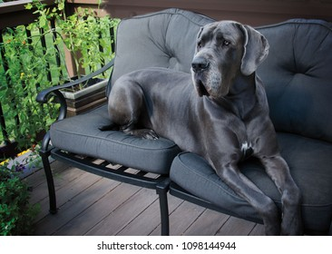 Portrait of a Great Dane
