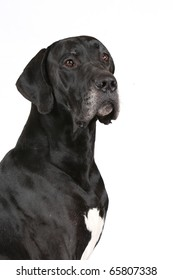 portrait of the Great Dane isolated on white