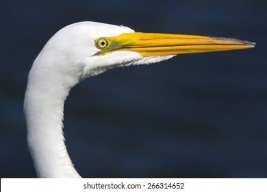 Portrait of a Great Egret (Ardea alba) near Clearwater Florida