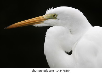 A portrait of a great egret with a black background.  Sarasota, FL, USA.