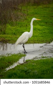 A portrait of a great egret standing in a puddle at the Yolo Bypass Wildlife Area, in Yolo County, near Sacramento, California.