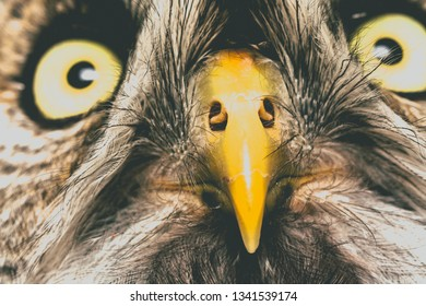 Portrait Of The Great Grey Owl, Strix nebulosa