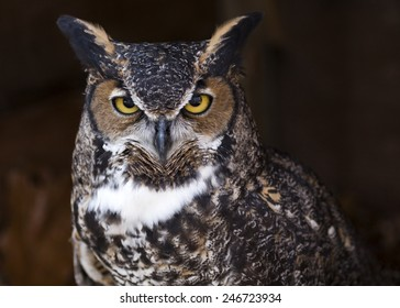 portrait of a great horned owl making eye contact