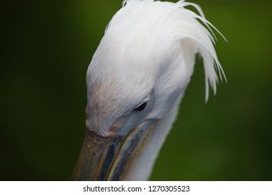 Portrait of a Great White or Eastern Pelican, Pelecanus onocrotalus.