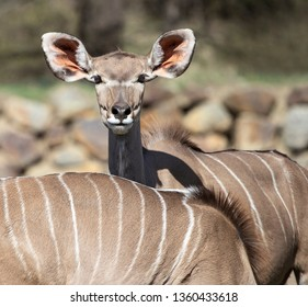 portrait of greater kudu, antelope