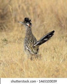 Portrait of a Greater Roadrunner, geococcyx californianus, a bird of the cuckoo family native to the southwestern United States and Mexico, in a dried grass background