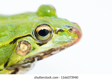 portrait of a green frog isolated on a white background