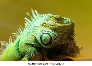 portrait of green iguana on yellow background