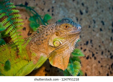 Portrait Green Iguana reptile of exotic pet.