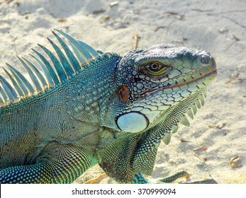 portrait of a Green Iguana seen at the beach in Guadeloupe (Caribbean) at evening time