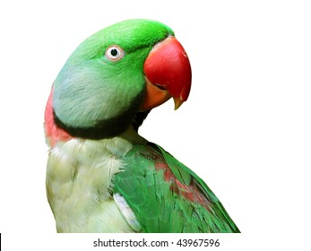 portrait of green parakeet with scarlet beak isolated on white