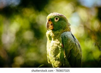 Portrait of a green parrot in a bird park in north peru/ Tarapoto/ Peru/ South America