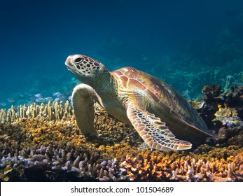 Portrait of a green turtle on a stag horn coral in Sipadan, Borneo.